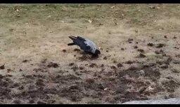 ЗАБАВНОЕ ВИДЕО: Ворона-земледелец или Зачем она это делает?