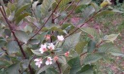 Dobelē pilnā sparā septembrī zied ķirši