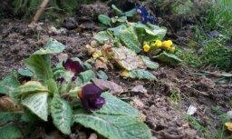 Janvāris – īstais laiks uzziedēt dārza ziediem