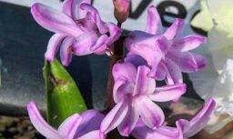 Ziedošas ābeles, vizbulītes un hiacintes: kas pārsteidzis 'Delfi' lasītājus septembrī