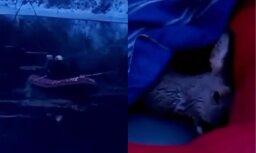 Aizkustinošs video: Valmierā ugunsdzēsēji izglābj Gaujā ielūzušu stirniņu