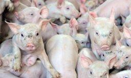 Krimuldā cūku mēris atklāts lielā saimniecībā; likvidē 5000 dzīvniekus