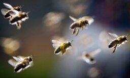 Vīrietis ar bumbu trāpa bišu pūznī un tiek vairākkārtīgi sadzelts