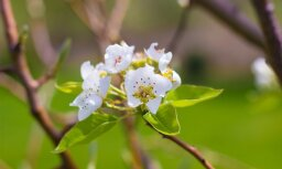 Augļkopji: saglabājoties pavasarīgiem laikapstākļiem, drīzumā varētu atsākties augļkoku veģetācija