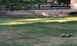 ВИДЕО: Читательница обнаружила во дворе раненого сокола
