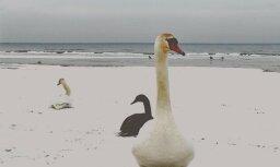 Foto: Lasītāju izbrīna jūras krastā manīti gulbji