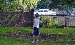 Skat, suns veselas 12 minūtes šūpojas kokā iekārtā virvē! (video)