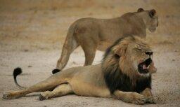 Неизвестный охотник застрелил льва Ксанду— потомка льва Сесила