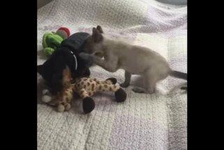 Mīlīgs video: Skops suns atņem kaķa vienīgo rotaļlietu