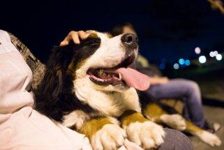 Bernes ganu suns - brangs mājas sargs ar visskaistāko kažoku