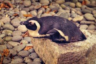Nāvējoša slimība iznīcina visu Eksmūras zoodārza pingvīnu koloniju