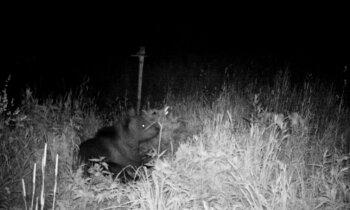 Foto: Aculiecinieks Ogres novadā iemūžina brūno lāci