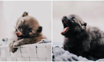 Ar dažiem simtiem var nepietikt: cik dārgs un sarežģīts ir suņu pārošanas process