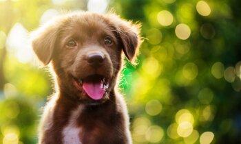 Bez ciltsrakstiem dzīvnieks nav šķirnes dzīvnieks: mājas mīlulis par 350 eiro Latvijā ir ikdiena