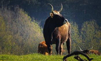 Nacistu 'āriešu' govis – selekcijas eksperimenti, lai atgrieztu izmirušos taurus