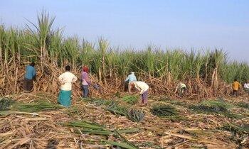 Indiešiem lūdz ēst vairāk cukura, lai novērstu pārprodukciju