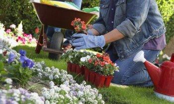 Podos iegādātu augu pārstādīšana: cik ilgi to drīkst atlikt