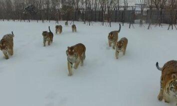 ВИДЕО: Толстые амурские тигры устроили погоню за квадрокоптером