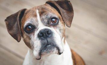 Suns nav baltmaize. Kāpēc čipēšanu pārceļ un ko gūst saimnieki
