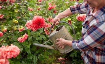 Laistīšanas padomi: karstā laikā jāuzmanās no ūdens pilieniem uz augu lapām