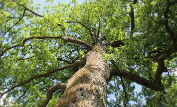 Tests: Noskaidro, kāds koks tu esi, un piesaki savu dižkoku Latvijas simtgadei