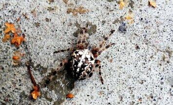Foto: Lasītāju Tukumā izbrīna krusta zirneklis