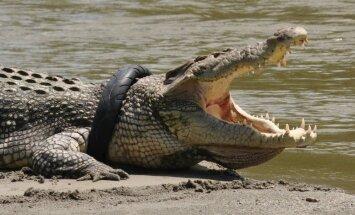 Krokodils Indonēzijā jau vairāk nekā gadu iesprūdis riepā