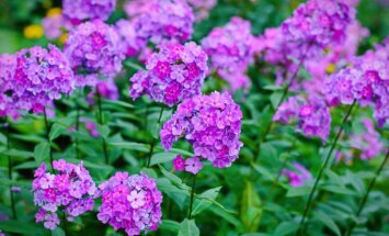 Sentimentālie flokši – kad un kā pareizi stādīt pasakainās dārza puķes