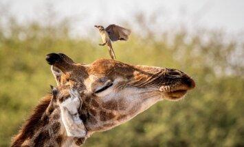Foto: Sprauslājoša žirafe cenšas aizgaiņāt uzstājīgu putneli