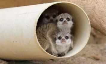 Ikviena zoodārza mīluļi – kā izskatās nesen dzimuši surikati