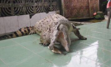 Ģimene Indonēzijā jau 20 gadus rūpējas par bīstamu mājdzīvnieku – krokodilu