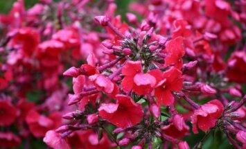 Foto: Botāniskajā dārzā saplaukuši smaržīgie flokši