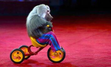 Сейм одобрил запрет на использование диких животных в цирке