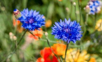 Skaistā nezāle rudzupuķe – septiņas šķirnes audzēšanai dārzā