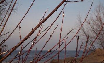 Daugavgrīvas pludmalē uzplaukuši pūpoli