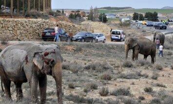 Video: Spānijā autoavārijā cietušie ziloņi klīst pa automaģistrāli