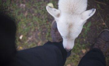 Pārdroša rotaļāšanās ar svešiem suņiem – Latvijā bieži sakož tieši bērnus