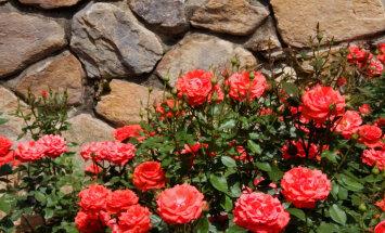 Готовим розы к зиме – советы специалистов