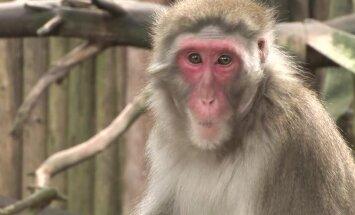 Radošums, miers un kārtīgums – ko mums mācīties no pērtiķiem?