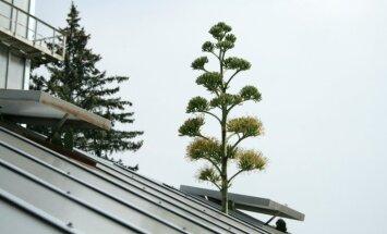 LU Botāniskajā dārzā rets notikums – uzziedējusi agave