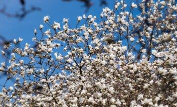Botāniskajā dārzā kā pavasarīgs sprādziens zied magnolijas