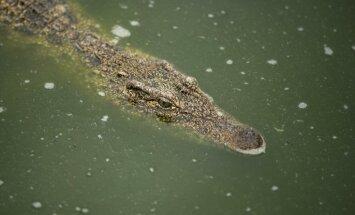 Plūdi Teksasā: Sievietes pagalmā iepeld aligatori; brīdina par čūskām