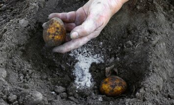 Kartupeļu stādīšanas darbi Latvijā varētu sākties aprīļa beigās, lēš asociācija