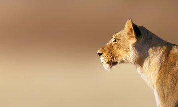 Krievijas zoodārzā lauva nogalinājusi piedzērušos vīrieti