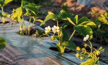 Šķirnes, stādīšana un kopšana – zemeņu audzēšanas rokasgrāmata