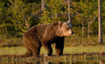 Aļaskā lācis saplosa un ēd tūristu