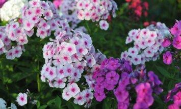 Сказочный запах! 12 самых душистых цветов для вашего сада