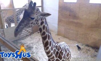 Ieraksts vai tiešraide? Skeptiķi izsaka šaubas par žirafes grūsnību ASV