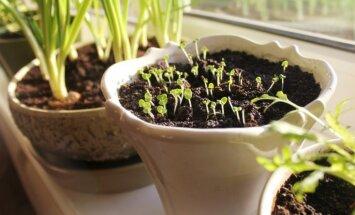 Ne tikai loki: virkne zaļumaugu, ko audzēt telpās un mazdārziņos