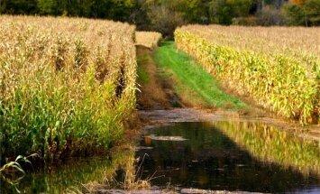 ES kukurūzas raža par 17% mazāka, gaidāms straujš importa pieaugums